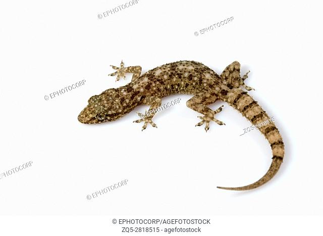 Leaf toed gecko, Hemidactylus parvimaculatus, Udanti Tiger Reserve, Chhattisgarh. Medium sized gecko usually seen under boulders in forests and in tree hollows