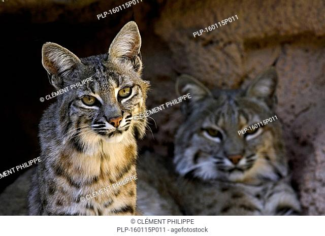 Two bobcats (Lynx rufus / Felis rufus) resting at cave entrance, native to southern Canada, North America and Mexico
