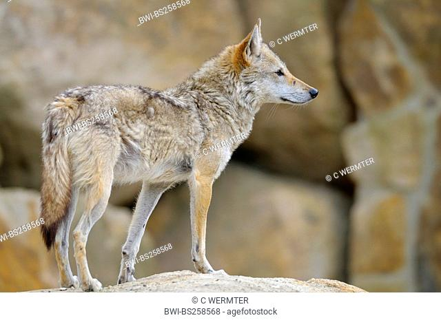 golden jackal Canis aureus, standing on a rock looking out