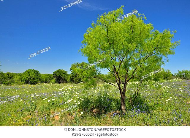 Wildflowers along the Art Hedwigs Hill Road, Mason County, Texas, USA