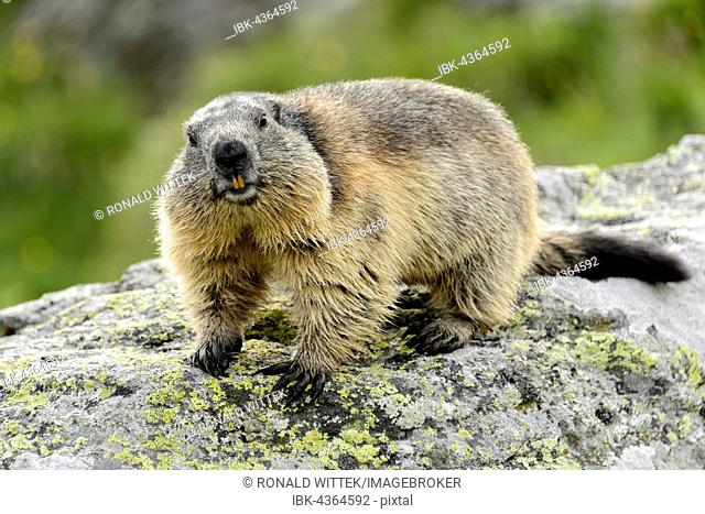 Alpine marmot (Marmota Marmota) on rock, High Tauern National Park, Austria