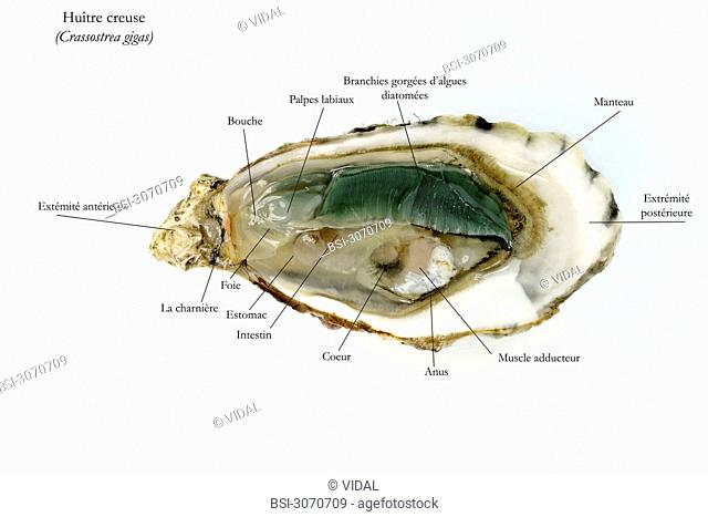 PACIFIC GIANT OYSTER