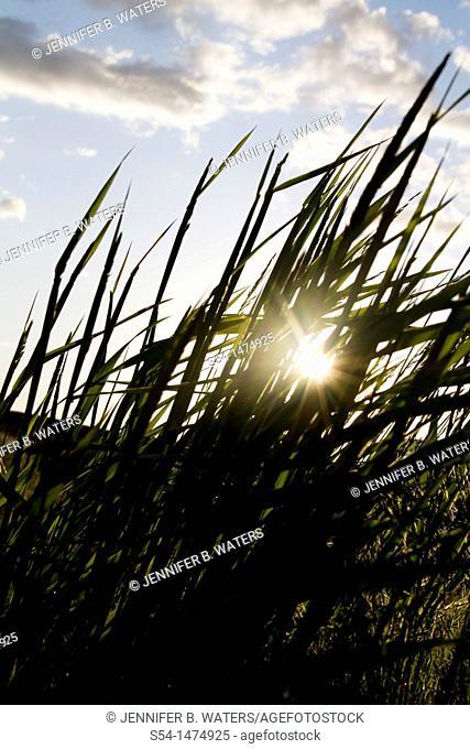 Backlit grasses in the summer