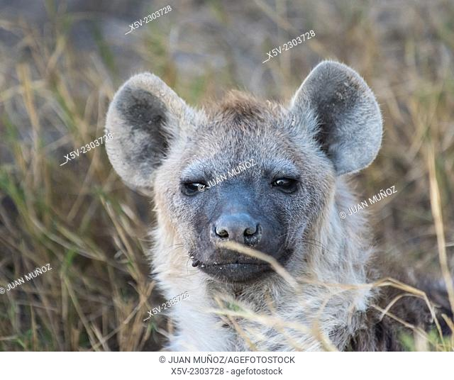 Close up of spotted hyena Crocuta crocuta. Amboseli. Kenya. Africa