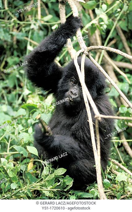 Mountain Gorilla, gorilla gorilla beringei, Young playing with Branch, Virunga Park in Rwanda