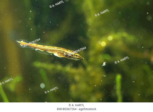 pike, northern pike (Esox lucius), swimming larva preying on water flea, Germany
