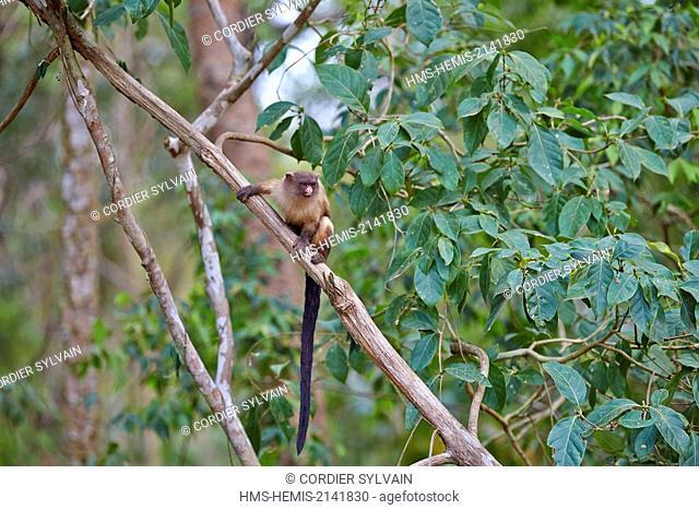 Brazil, Mato Grosso, Pantanal region, Black-tailed marmoset (Mico melanurus)