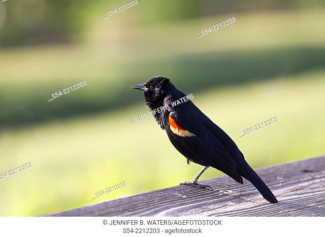 A Red-Winged Blackbird puffs up while standing on one leg in Florida, USA. Agelaius phoeniceus