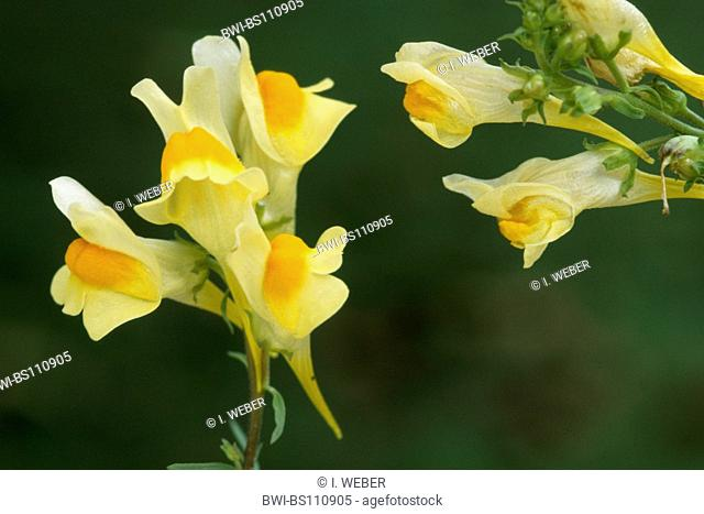 common toadflax, yellow toadflax, ramsted, butter and eggs (Linaria vulgaris), flowers