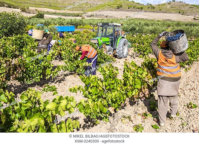 Grape harvest. Bargota, Navarre, Spain, Europe