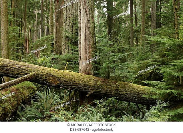 Cathedral Grove. Temperate rain forest on Princess Royal Island. British Columbia. Canada