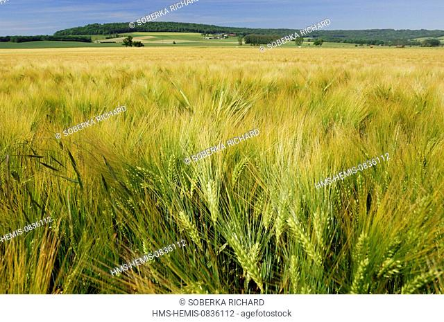 France, Ardennes, Villy, landscape field of wheat