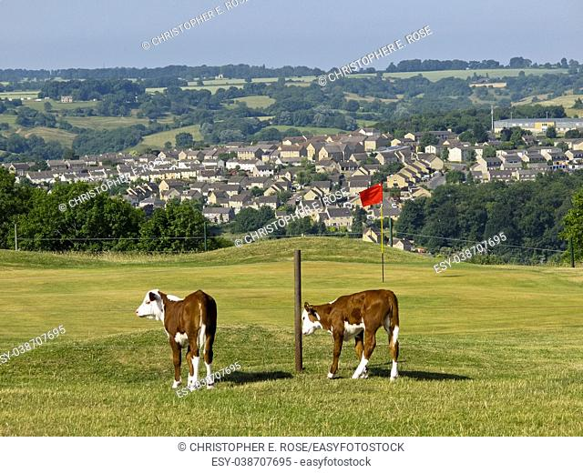 Cattle roam freely around the golf course on Minchinhampton Common in the Cotswolds, Gloucestershire, UK