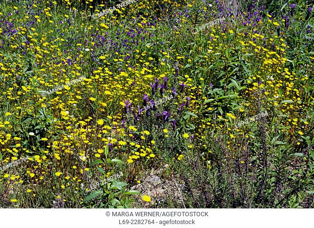 Flowering landscape in spring with yellow daisy, Bluweed, Butterfly lavender, Serra de Monchique, Algarve, Portugal, Europe