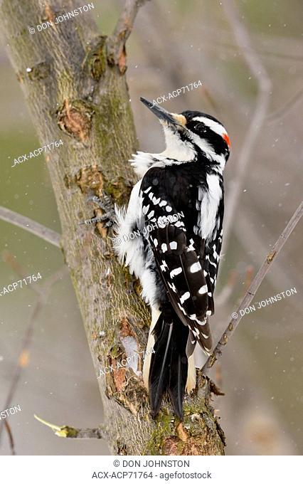 Hairy Woodpecker (Picoides villosus), Greater Sudbury (Lively), Ontario, Canada