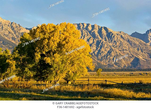 Fall colors on tree in morning light in front of the Teton Range mountains, Grand Teton National Park, Wyoming