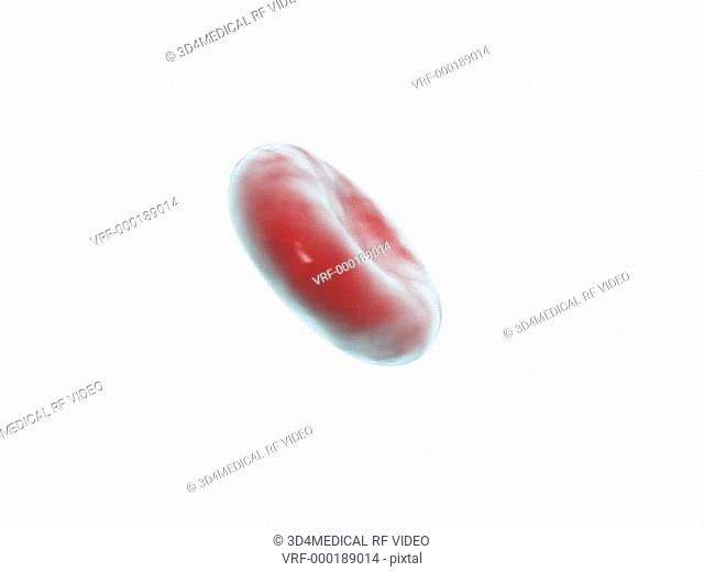 Depiction of a red blood cell rotating 360 degrees. This animation is set against a white background