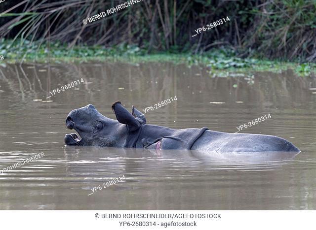 young Indian rhinoceros (Rhinoceros unicornis) bathing in waterhole, yawning, threatened species, Kaziranga National Park, Assam, India