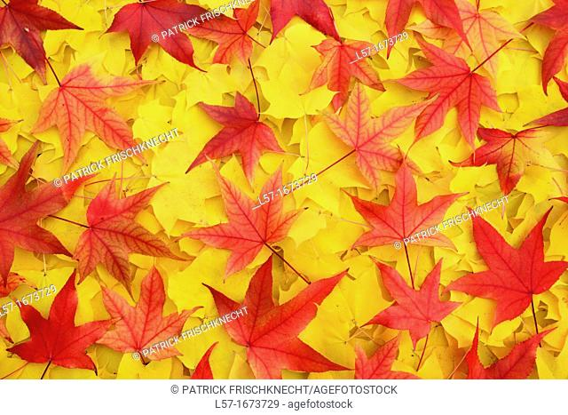 mass of maple leaves in fall