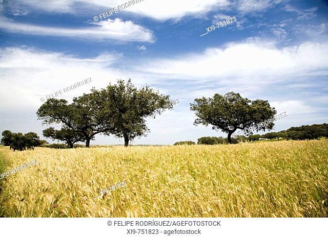 Wheat field and holm oaks. Alto Alentejo, Portugal