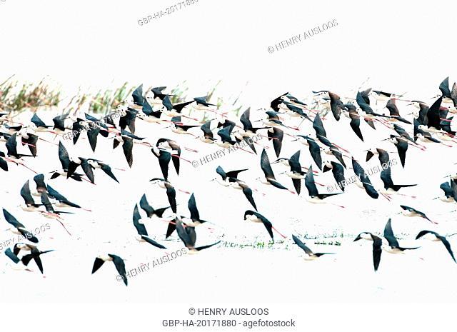 Black-winged stilt (Himantopus himantopus), group in flightEchasse blanche