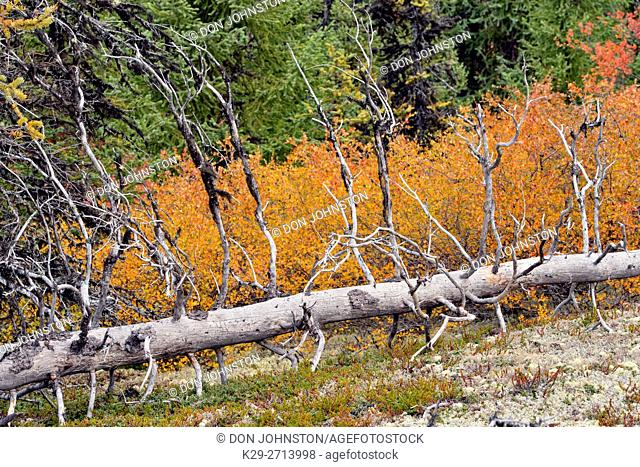 Autumn foliage (dwarf birch) in a spruce woodland, Arctic Haven Lodge, Ennadai Lake, Nunavut, Canada