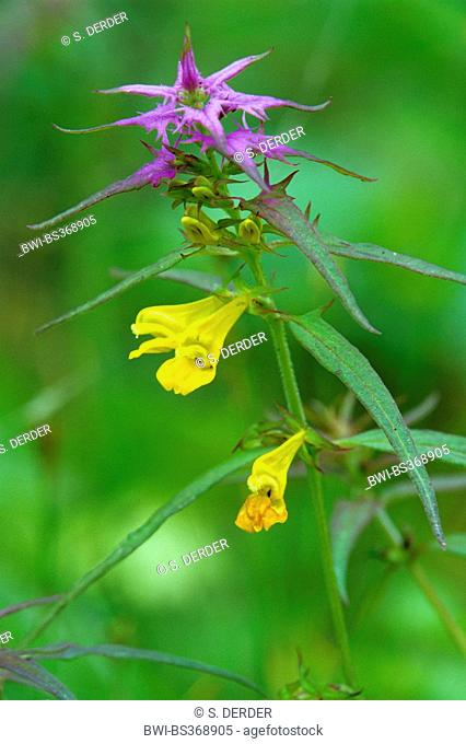 wood cow-wheat (Melampyrum nemorosum), inflorescence, Italy, South Tyrol, Dolomiten