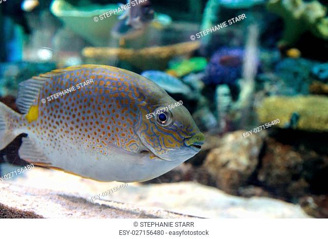 Yellowspot rabbitfish Siganus guttatus swims across a coral reef