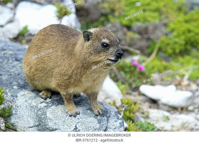 Rock Hyrax (Procavia capensis), Cape of Good Hope Nature Reserve, Western Cape, South Africa