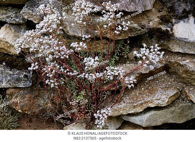 White stonecrop (Sedum album) blooming at limestone wall - Bavaria/Germany