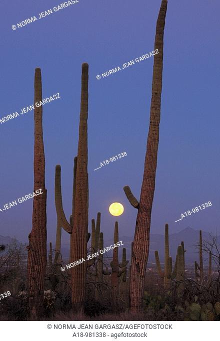 Saguaro cactus Carnegiea gigantea tower over the Sonoran Desert along the Bajada Loop Drive in Saguaro National Park in Tucson, Arizona, USA
