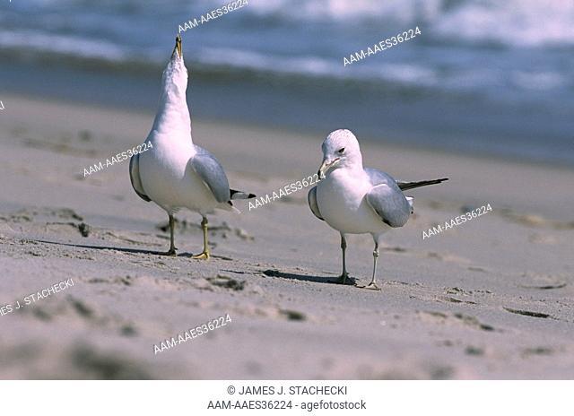 Ring-billed Gulls, courting Pair (Larus delawarensis), Cape May, NJ