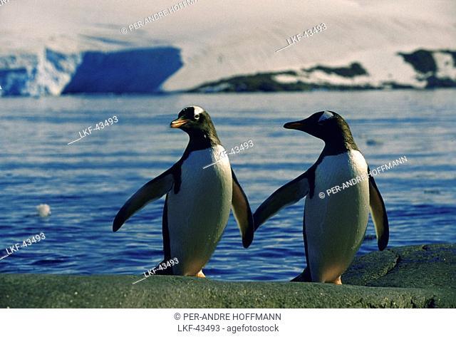 Two amarous gentoo penguins on the waterfront, Port Lockroy, Antarctic Peninsula, Antarctica