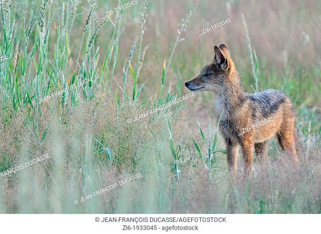 Black-backed Jackal, Canis mesomelas, Kgalagadi Transfrontier Park, Northern Cape, South Africa