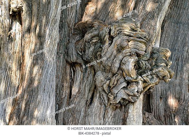 Arbol del Tule, cypress (Taxodium mucronatum), trunk, detail of growth, Santa Maria del Tule, Oaxaca, Mexico