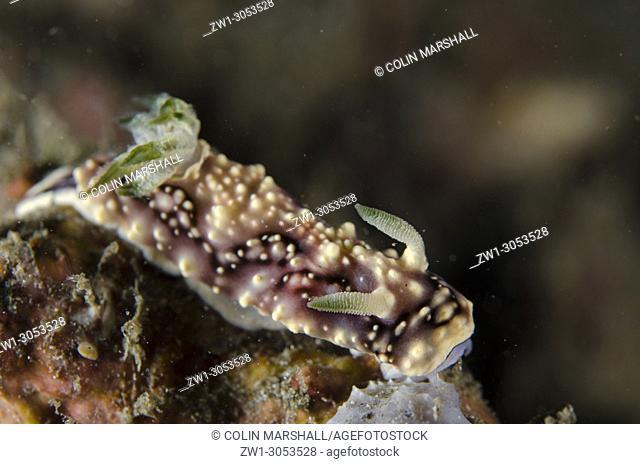 Geometric Nudibranch (Goniobranchus geometrica), K41 dive site, Dili, East Timor (Timor Leste)