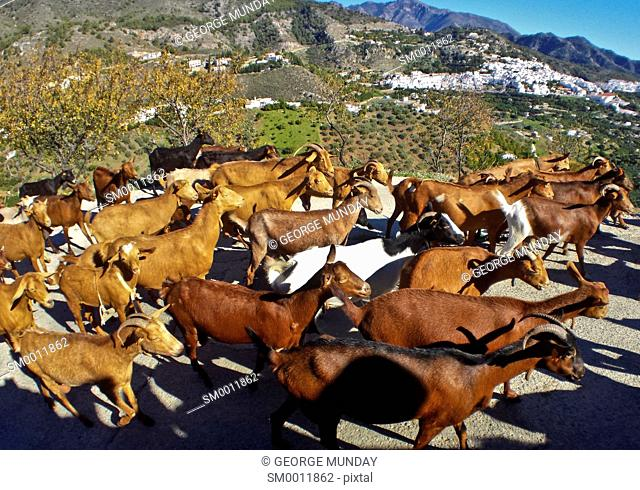 Goats above Frigiliana Village,
