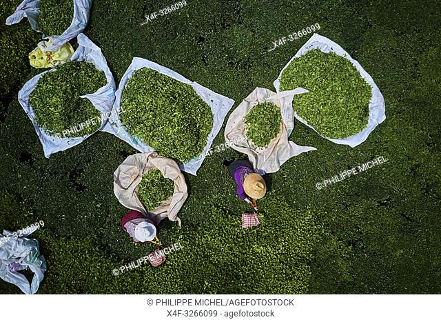 Turkey, the Black Sea region, tea plantation in the hills near Trabzon in Anatolia