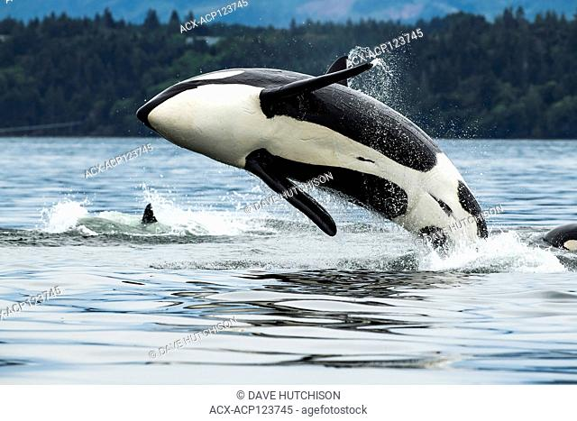 T065A2, Biggs Orca Whale (Orcinus orca), Cowichan Bay, Vancouver Island, BC Canada