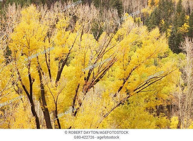 Cottonwood, San Juan Mountains. Colorado, USA. Fall, 2004