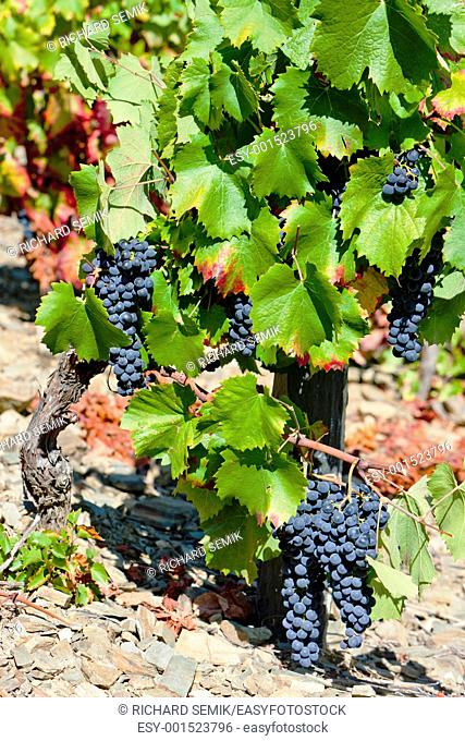 red grapes, Douro Valley, Portugal