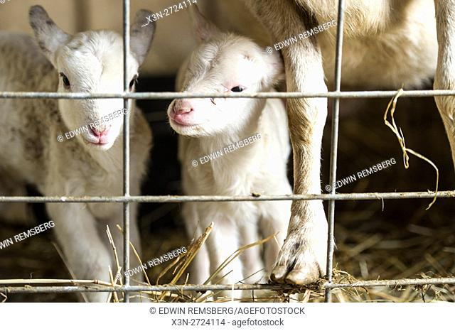Mother sheep with newborn lambs on a farm in Maryland