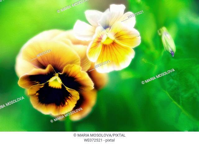 Two Pansy Flowers and a Bud. Viola x wottrockiana. June 2006, Maryland, USA