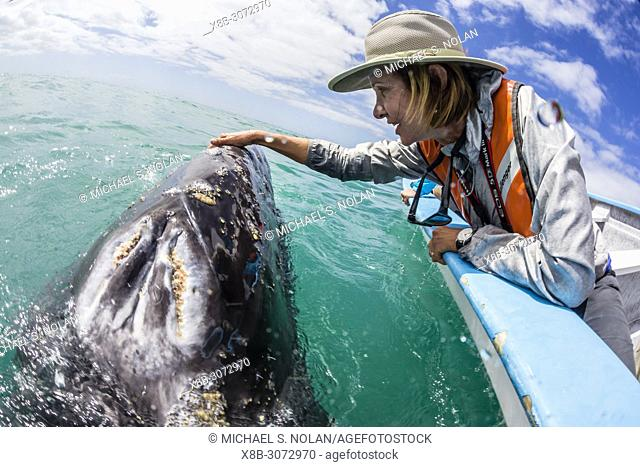 California gray whale calf, Eschritius robustus, with tourists in San Ignacio Lagoon, Baja California Sur, Mexico
