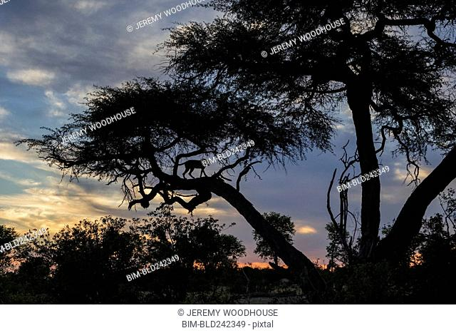 Silhouette of cheetah on tree branch at dusk