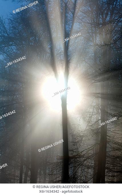 Autumn Morning Sunshine and Mist , Shining through Trees in Woodland, Hessen, Germany
