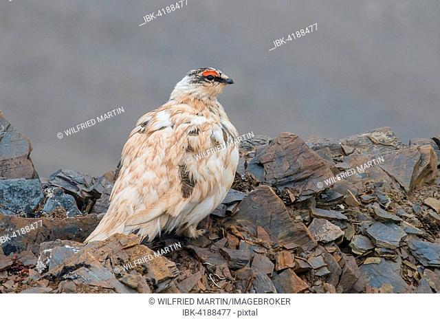 Rock Ptarmigan (Lagopus muta), Spitsbergen, Norway