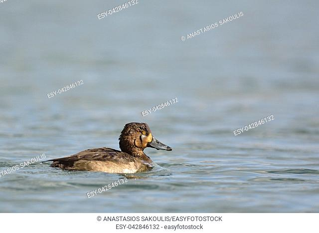 Tufted Duck (Aythya fuligula), Greece