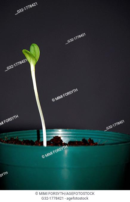 Sunflower sprouted from seed