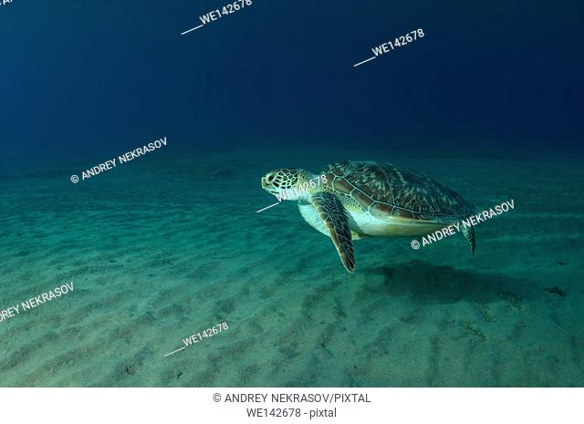 Green sea turtle, Eastern Pacific green turtle, Soup turtle or Black sea turtle (Chelonia mydas) swimming over a sandy bottom, Red sea, Marsa Alam, Abu Dabab